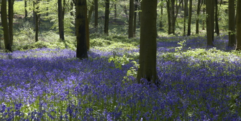 Bluebells of Fyne Court